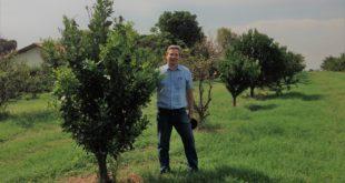 MFG - pesquisador Camilo L. Medina, recuperação de plantas com HLB podadas que receberam o MFG e logo atrás planta sem manejo